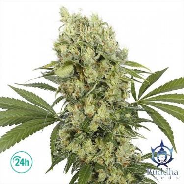 Medikit planta de marihuana
