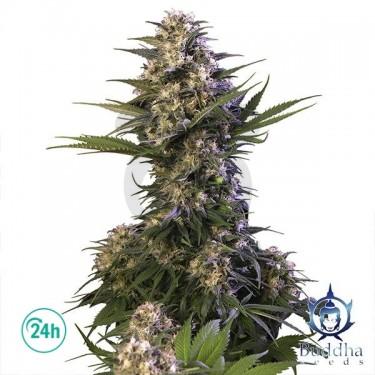 Kraken planta de marihuana