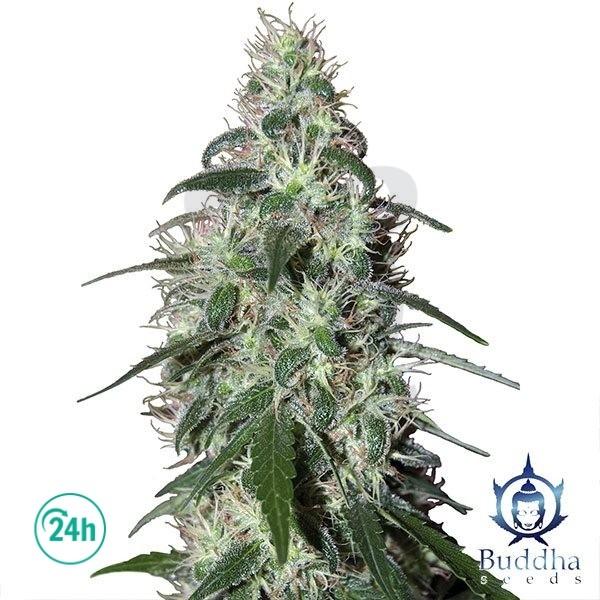 Pulsar planta de marihuana