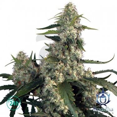 Quasar planta de marihuana