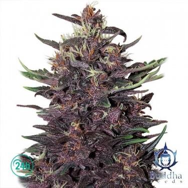 Plante de cannabis Purple Kush