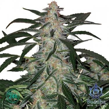 Deimos Plante de cannabis