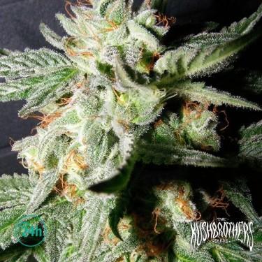 Confidencial Medicine planta de marihuana