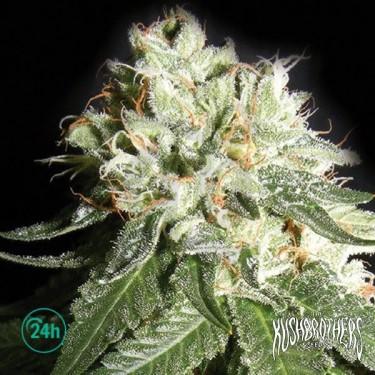 OG Cheese planta de marihuana
