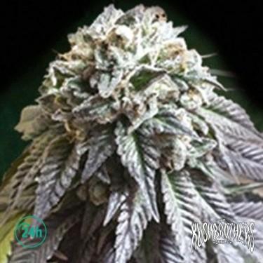 The Dark Side planta de marihuana