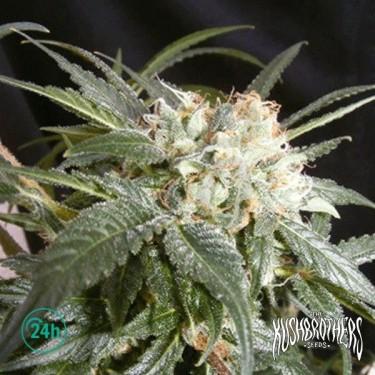 Malibu planta de marihuana