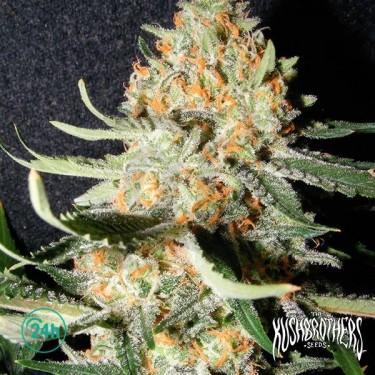 Exotic Kush planta de marihuana