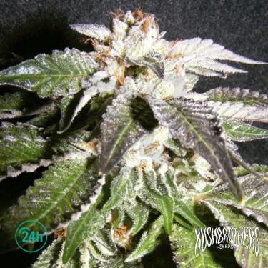 Confidencial OG planta de marihuana