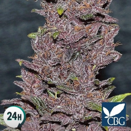 Pakistan Chitral Kush planta de marihuana