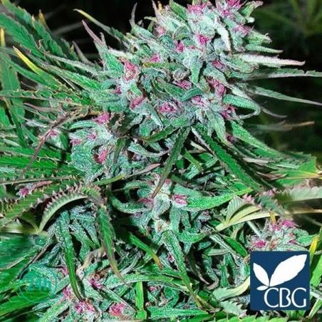 Panama planta de marihuana
