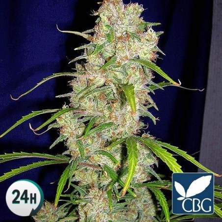 Destroyer Regular planta de marihuana