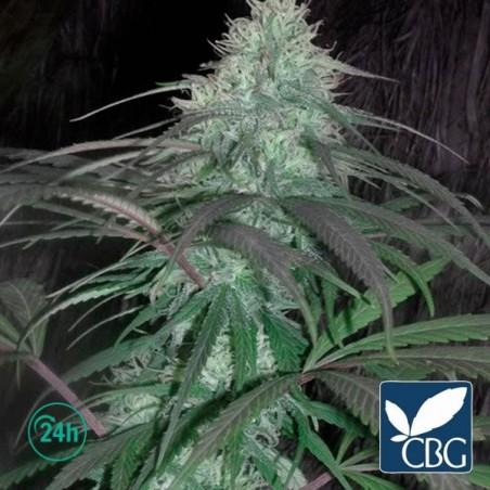Leshaze Regular planta de marihuana