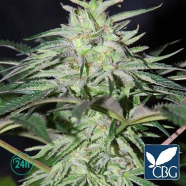 Panama DC Regular planta de marihuana