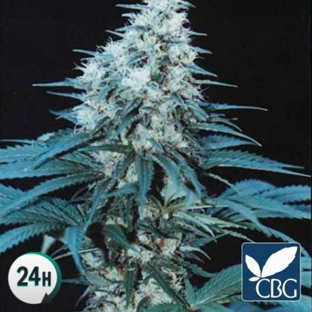 Caribe Regular planta de marihuana