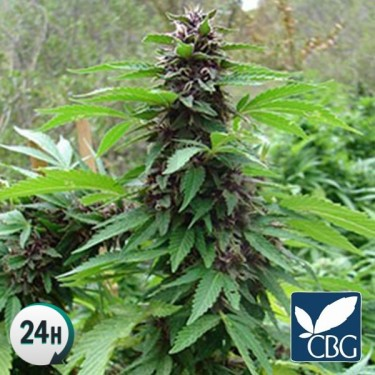 Plante de marijuana SandStorm Régulière