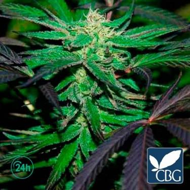 Plante de marijuana Mangobiche