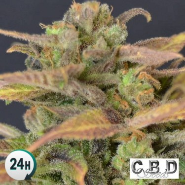 Auto Critical planta de marihuana