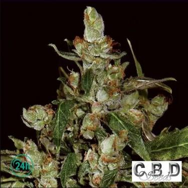 Auto Widow planta de marihuana