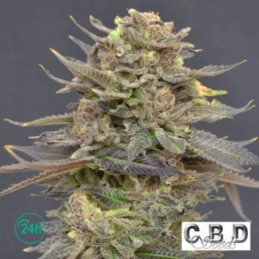 Magma cannabis plant