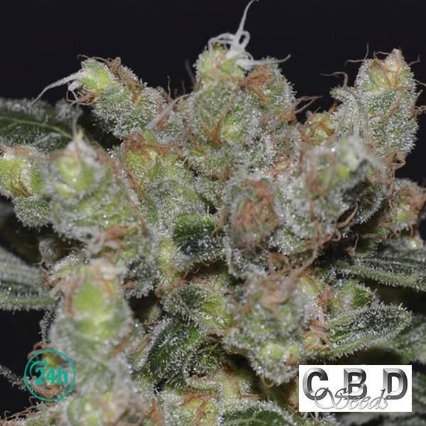 Zen cannabis plant