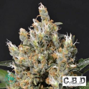 Kali cannabis plant