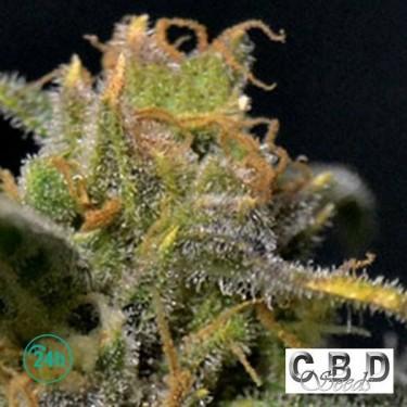 Plante de marijuana Auto Northern CBD