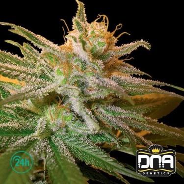 Plante de marijuana Kushberry