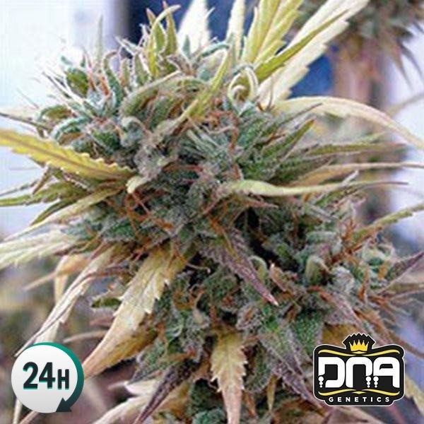 Hashplant Haze By Dna Genetics Feminized Each month, a staff writer selects a favorite strain to share with you. hashplant haze