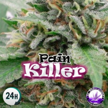 PainKiller cannabis plant