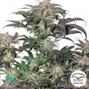 Bubba Island Kush planta de marihuana