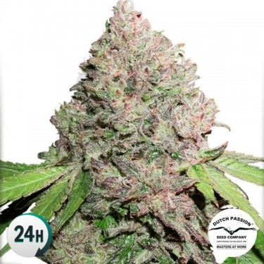 CBD Charlotte's Angel planta de marihuana