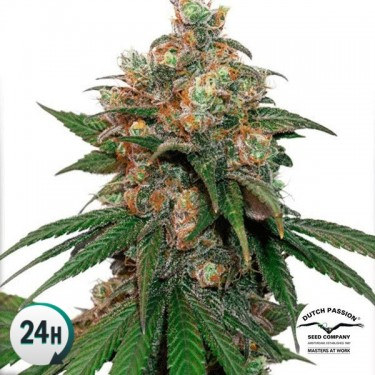 HiFi 4G planta de marihuana