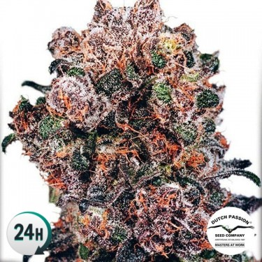 Plante de marijuana BlueBerry®  Régulière