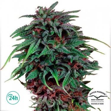 Plante de marijuana Durban Poison ®  Régulière
