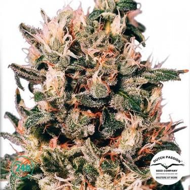 Plante de marijuana Euforia ® Régulière