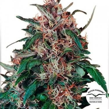 Plante de cannabis Hollands Hope ® Régulière