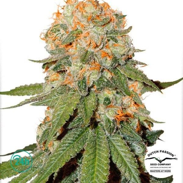 Orange Bud ® regular