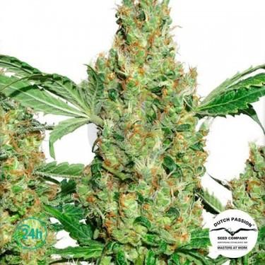 Power Plant ® Régulière Plante de marijuana