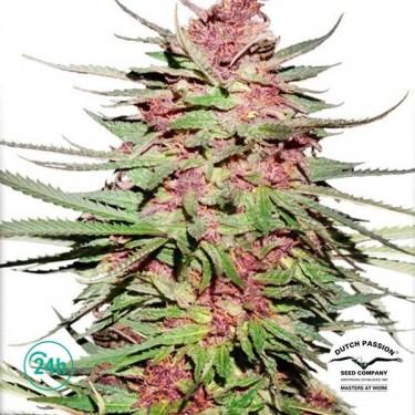 Purple 1 ® Régulière