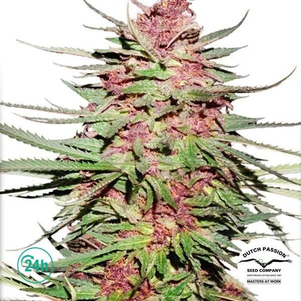 Purple 1 ® Regular