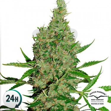 White Widow x The Ultimate®...