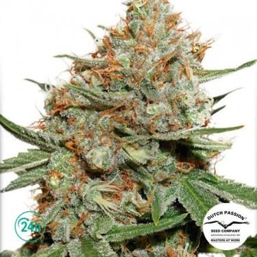 Skunk 11 planta de marihuana