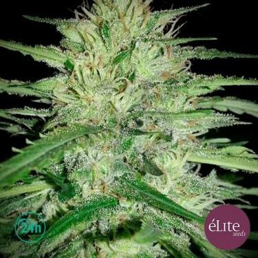 """Plante de marijuana """"Juanita La Lagrimosa"""" CBD"""