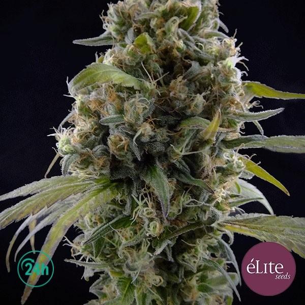 Solodiol CBD planta de marihuana