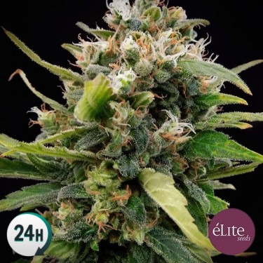Plante de marijuana La Rica Clasica THC
