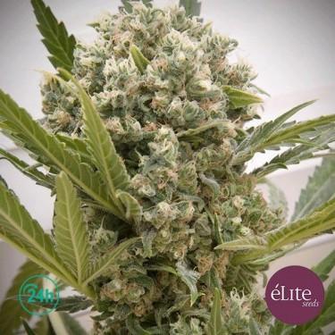 Le Katana Plante de marijuana