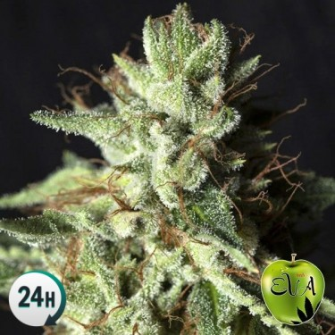 Gorilla Candy planta de marihuana