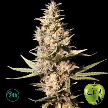 Planta de marihuana