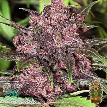 Planta de marihuana Black Haze Auto