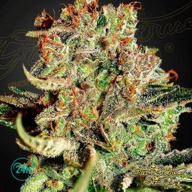 Super Bud Plante de marijuana